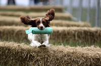 Flying springer spaniel