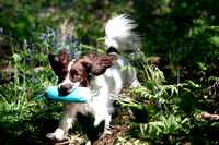 Spaniel Retrieving in the woods
