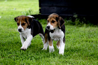 Hurworth Hound Pups 001