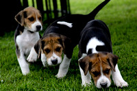 Hurworth Hound Pups 004