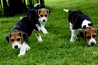 Hurworth Hound Pups 006