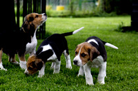 Hurworth Hound Pups 007