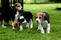 Hurworth Hound Pups 008