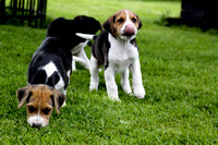Hurworth Hound Pups 010