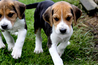 Hurworth Hound Pups 011