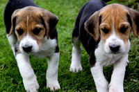 Hurworth Hound Pups 012