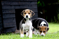Hurworth Hound Pups 018