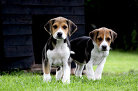 Hurworth Hound Pups 020