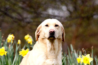 Gundog Photography 005