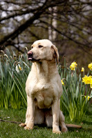 Gundog Photography 008