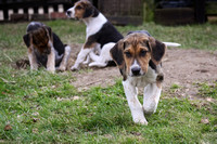 Hurworth Hunt Hound Pups 011