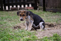 Hurworth Hunt Hound Pups 007