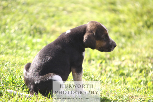 Hurworth Hound Pups 017