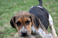 Hurworth Hunt Hound Pups 003