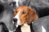 Old English hound profile
