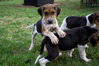 Hurworth Hunt Hound Pups 005