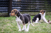 Hurworth Hunt Hound Pups 017