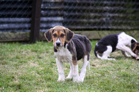 Hurworth Hunt Hound Pups 014
