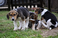 Hurworth Hunt Hound Pups 010