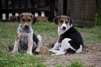 Hurworth Hunt Hound Pups 019