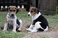 Hurworth Hunt Hound Pups 020