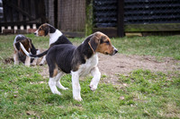 Hurworth Hunt Hound Pups 013